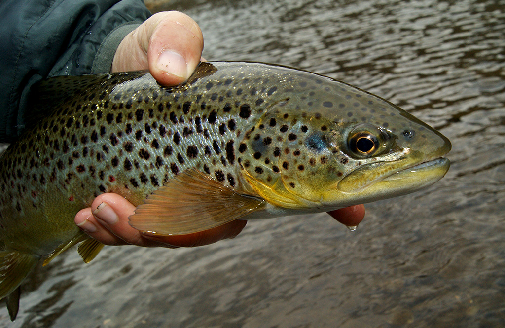 Fulling Mill River Brown Trout