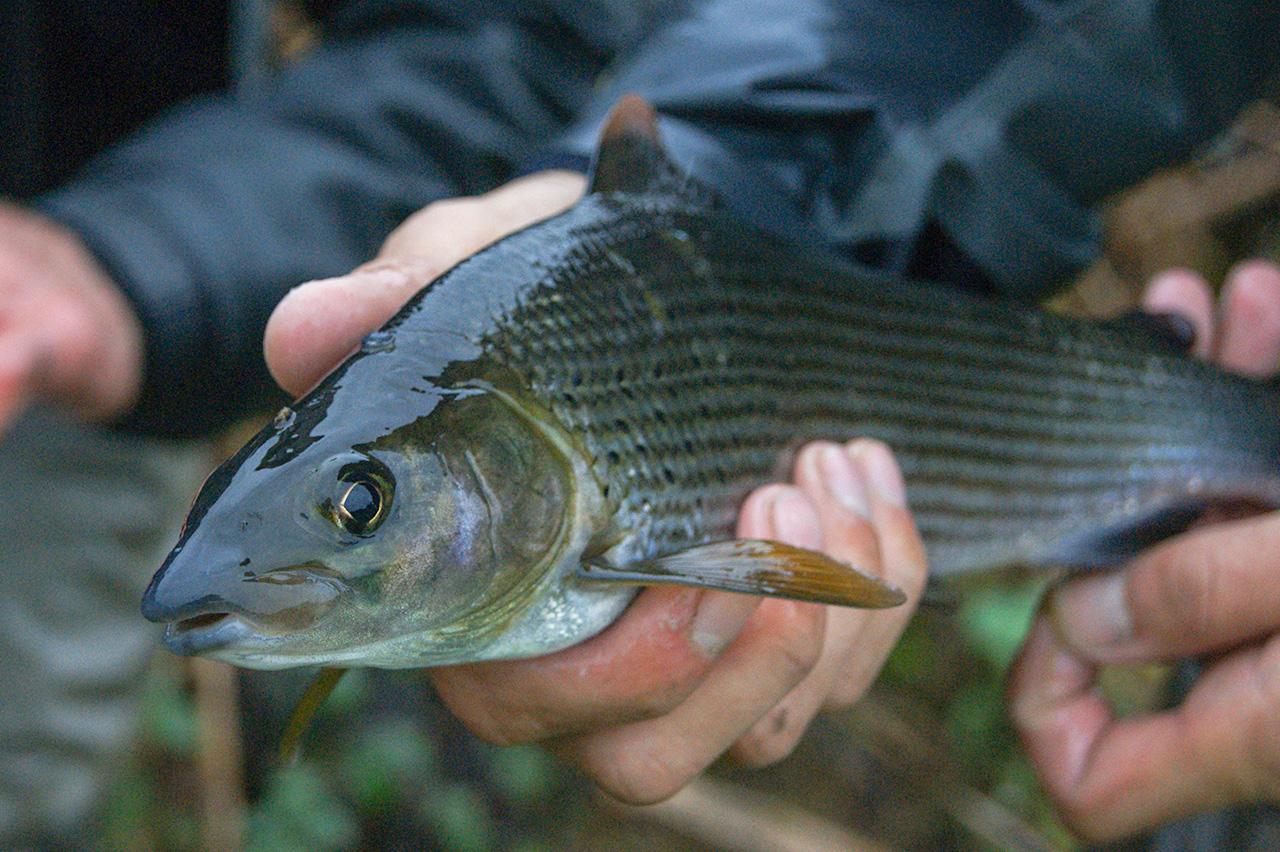 Sight fishing for grayling