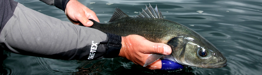 Fly fishing for Sea Bass