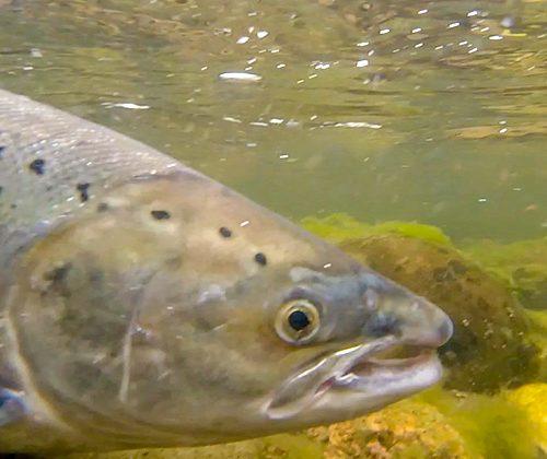 Late summer salmon fishing