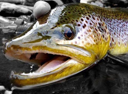 specimen trout