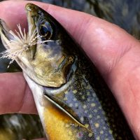 Brook Trout|Brook Trout|Brook Trout|Brook Trout|Brook Trout|Brook Trout|Brook Trout|Brook Trout|Brook Trout