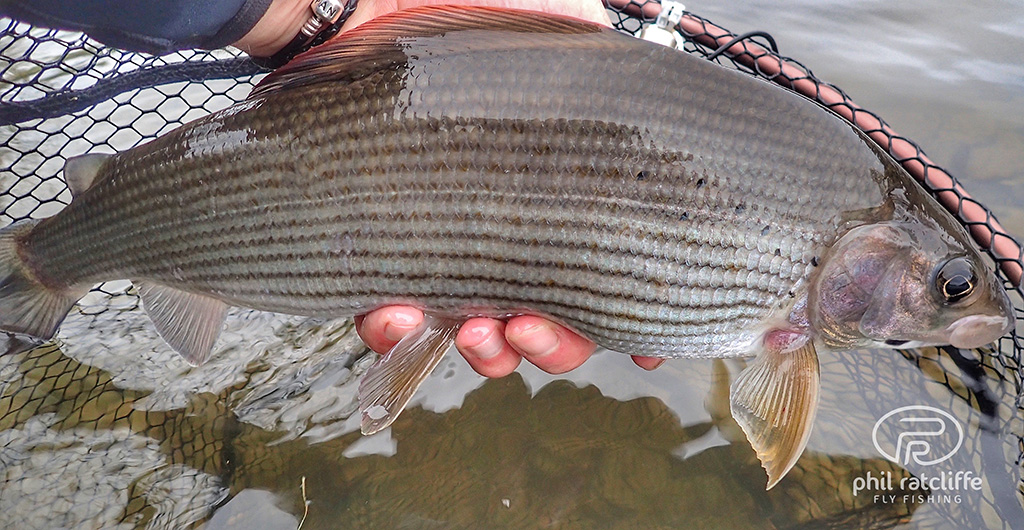 A large river Severn Grayling