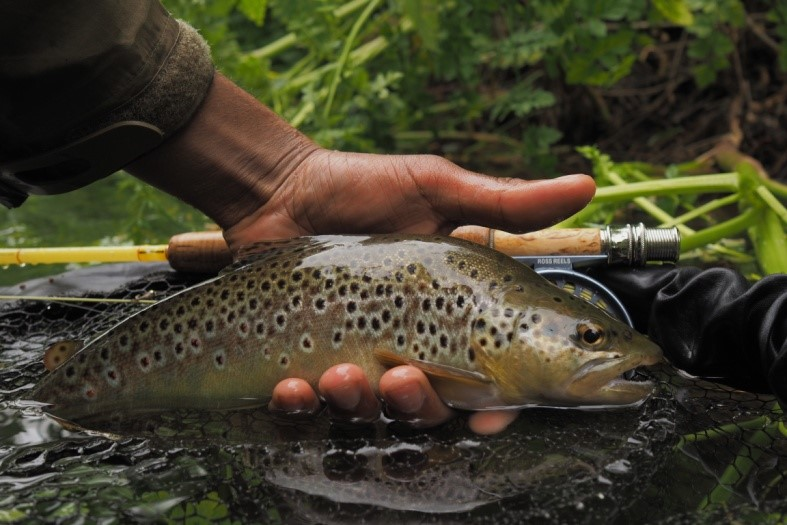 A brown trout caught on a free chalk stream.
