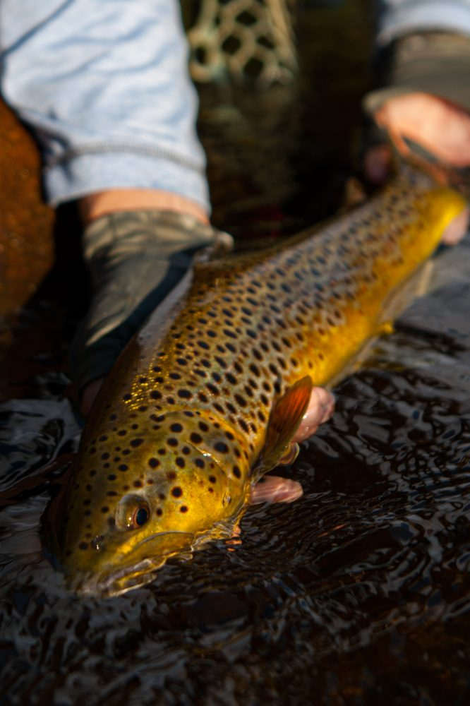 A golden brown trout held gently in the water. He's the result of practicing tips for targeting trout in the fall